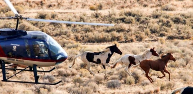 BLM Wild Horse Helicopter Roundup | Photo: American Wild Horse Campaign
