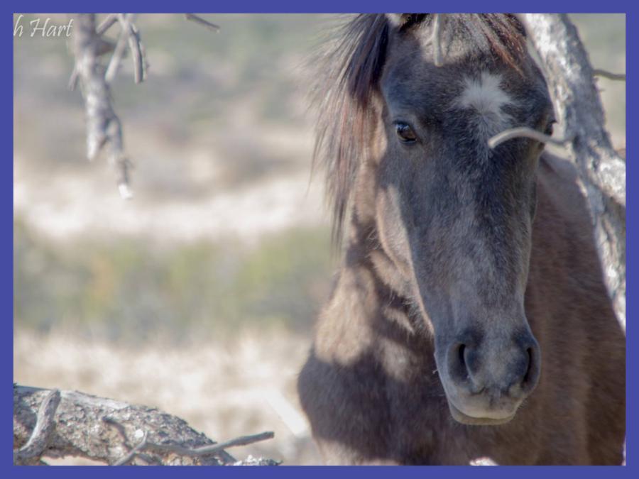 Wild horses photo by Roch Hart