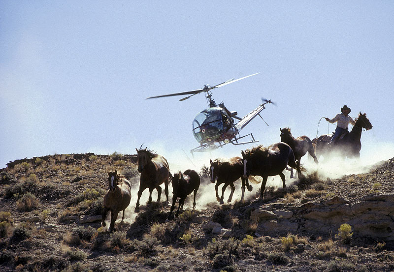 A terrifying wild horse roundup in action
