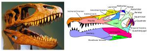 The massive jaws of Carcharodontosaurus vs the slender jaws of Spinosaurus. (Photo credit: Franko Fonseca, Wikimedia Commons, chart image: Public Doman)