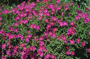 Mediterranean Cistus incanus Tea (Rock Rose) from Crete - Linden Botanicals