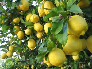 Nachhaltige Zitronenzucht