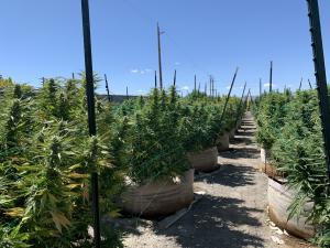 tcc itcc cultivation