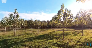 Paulownia trees in Virtual Reality.