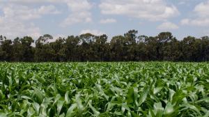 large corn field in Kenya