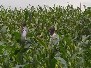 Farmers walking in tall corn in a corn field in Kenya
