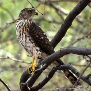 Cooper's Hawk perching on a branch