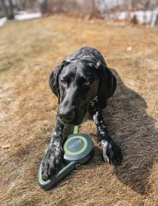 German Shorthaired Pointer Nyx shows off the Mighty Paw Retractable Dog Leash 2.0