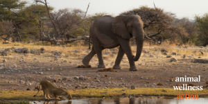Lioness and elephant meet at watering hole on African plain