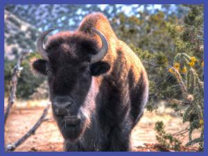 Photo of wild bison by Roch Hart