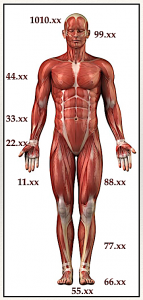 This image shows how points are numbered in the Tung system of acupuncture. It is useful to acupuncture research and helps to integrate neurological and myofascial responses to needling.