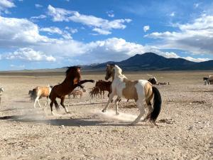 Two Onaqui Stallions | Photo Credit: Scott Beckstead