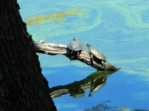 Western Pond Turtles are just one of many rare, threatened and endangered species living in, and around, Copco and Iron Gate Lakes. Baby turtles that require the shoreline for cover and some food, found neither after this reckless defoliation operation