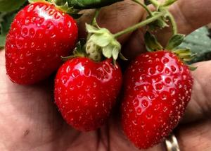 Truly organic chemical-free USDA organic certified strawberries in the Agria grow system