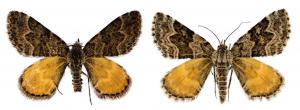 Newly described moth species Arctesthes titanica, named after James Cameron's 1997 movie 'Titanic' and the Titans from Greek mythology